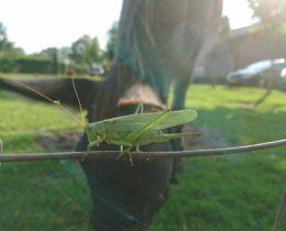 De Grote Groene Sabelsprinkhaan is een forse grasgroene sprinkhaan. Ondanks het feit dat het een groot insect is van zo'n 3-4 cm, valt deze sprinkhaan bijna niet op. Door zijn groene kleur gaat hij helemaal op in zijn omgeving en die goede camouflagekleur is de reden dat je hem niet zo heel vaak ziet, ondanks het feit dat het een algemeen voorkomende sprinkhaan is.   Vrouwtje Grote groene Sabelsprinkhaan maakt gebruik van camouflagekleur  Voordat de Grote Groene Sabelsprinkhaan volwassen is, heeft hij eerst als eitje een tijd doorgebracht in de grond en daaruit komt dan de zogenaamde nimf te voorschijn, een onvolwassen sprinkhaan, die al veel op de volwassen exemplaren lijkt, maar veel kleiner is en nog geen vleugels heeft. De nimf moet een keer of  zes vervellen om uiteindelijk het volwassenstadium te bereiken.   Nimf Grote Groene Sabelsprinkhaan   Nimf Grote Groene Sabelsprinkhaan, het wordt een mannetje  Het vrouwtje heeft een indrukwekkende legboor, waarmee ze de eitjes in de bodem aflegt. Vaak vinden mensen die legboor griezelig, maar die wordt alleen gebruikt om eitjes mee te leggen en het is geen apparaat om mee te steken of te prikken en dus voor mensen geen gevaar.