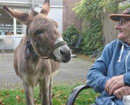 Heerlijk om Bino de ezel van Amarant op m'n werk plek te zien grazen (schooien) met de bewoners kijken we er naar #gezelligheid